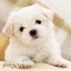 poodle trắng