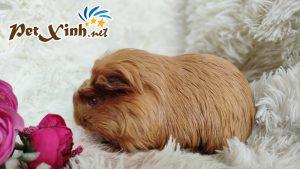 Guinea Pig Coronet 13