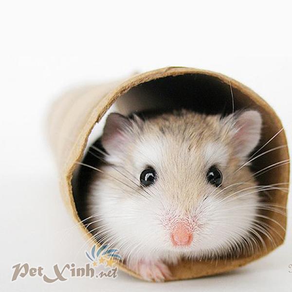 hamster robo