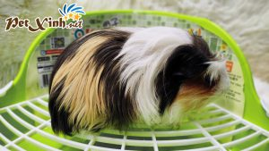 Guinea Pig Coronet 11