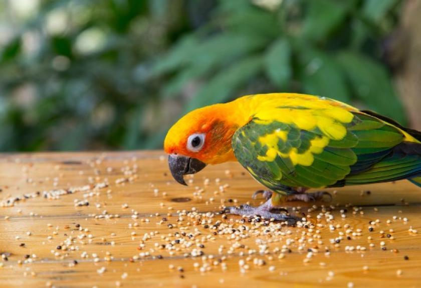 Các loại hạt là thức ăn chính cho các bé vẹt sun conure