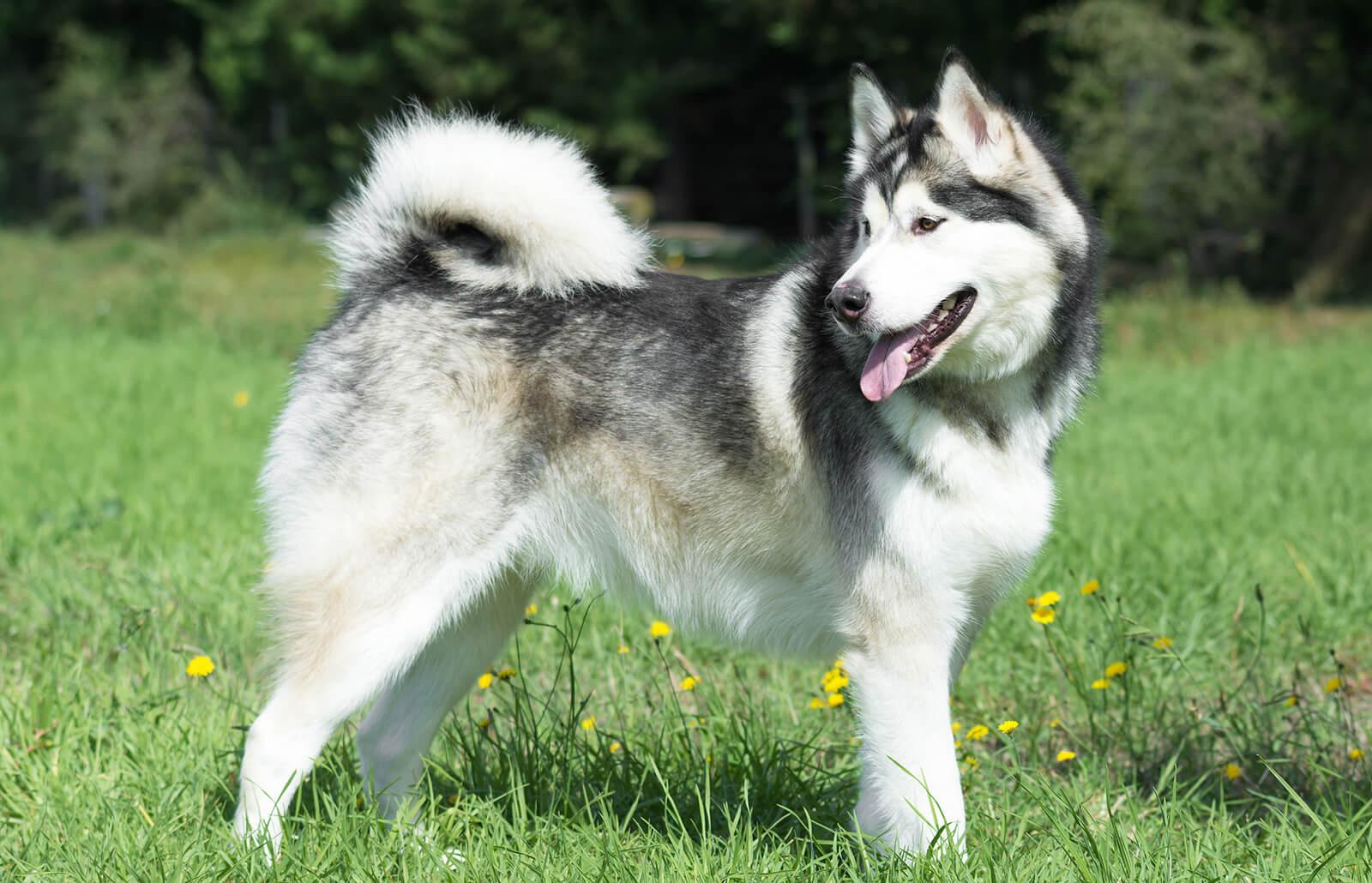 Chó Alaska