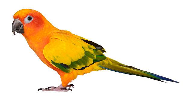 Vẹt Sun Conure với bộ lông sặc sỡ và chiếc đuôi dài