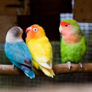 vẹt lovebird két mẫu đơn