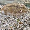 Cát lót chuồng cho hamster PetXinh