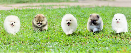 Chó Pomeranian (Pom, fox sóc, phốc) siêu mini 7
