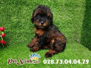 Chó Poodle 4