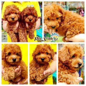 Chó Poodle 15
