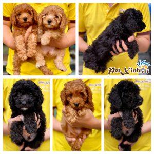 Chó Poodle 2