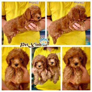 Chó Poodle 5
