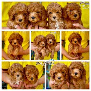 Chó Poodle 9