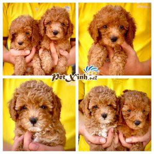 Chó Poodle 11