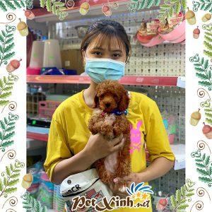 Chó Poodle 3