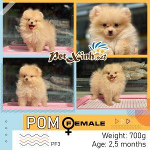Chó Pomeranian (Pom, fox sóc, phốc) siêu mini 11