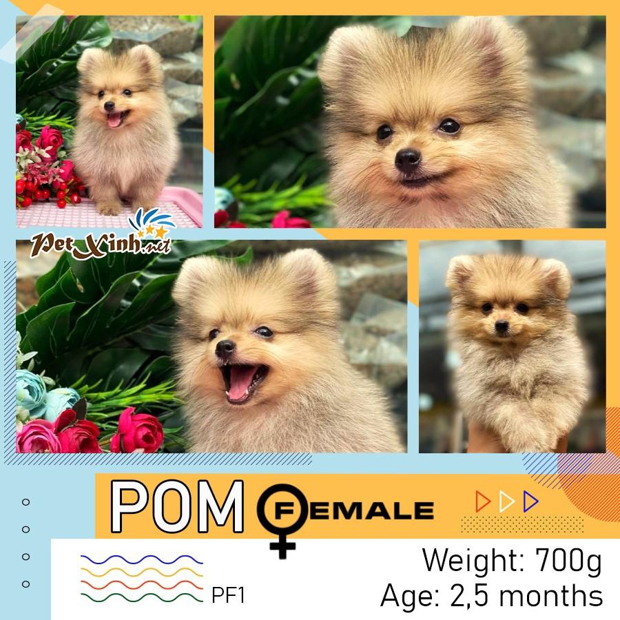 Chó Pomeranian (Pom, fox sóc, phốc) siêu mini 10