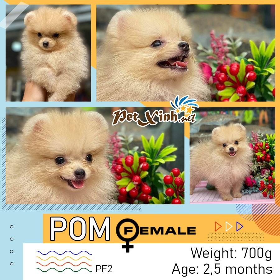 Chó Pomeranian (Pom, fox sóc, phốc) siêu mini 9