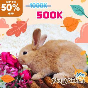 Thỏ Hà Lan Siêu Sale lên tới 50% 6