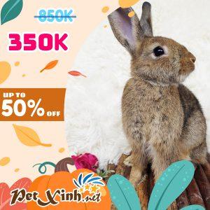 Thỏ Hà Lan Siêu Sale lên tới 50% 8
