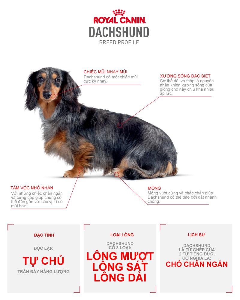 Các đặc điểm của chó Dachshund (chó lạp xưởng)