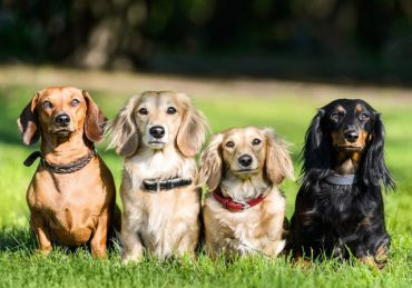 chó dachshund có bao nhiêu loại, chó dachshund bao nhiêu tiền