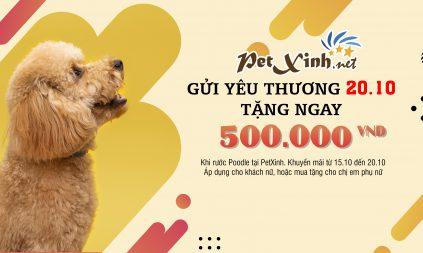 khuyến mãi poodle tại PetXinh